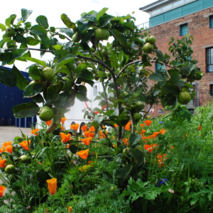 Dundee Urban Orchard 3